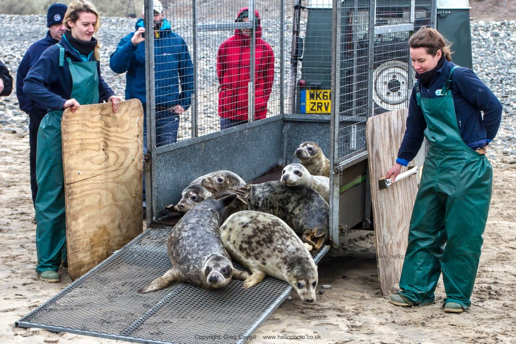 Six lovely seals released back into the sea at Gwithian, near Hayle by the Cornish Seal Sanctuary at Gweek. 4 Feb. 2016
