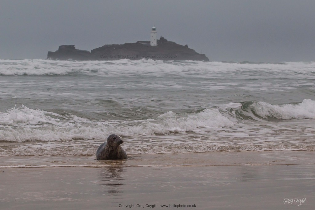 The seal that swam further up the coast with Godreavy Lighthouse in the background